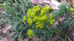 Euphorbe Petit Cyprès Euphorbia cyparissias